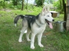 Siberian Husky, 4 mths, Peppered colored